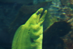 "Blurry Moray Eel • <a style=""font-size:0.8em;"" href=""http://www.flickr.com/photos/30765416@N06/4592967100/"" target=""_blank"">View on Flickr</a>"
