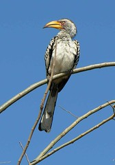 Enjoying the sun.... (Martial Mike) Tags: bird beak botswana hornbill yellowbilled flavirostris tockus tockusflavirostris tockusflavirostrus