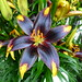 Asiatic Lilly - 'Tiger Heart'
