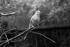 (miekala cangelosi) Tags: hot club zoo photo parrot fieldtrip parakeet ft worth twigs