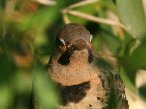 Northern Flicker 20100524