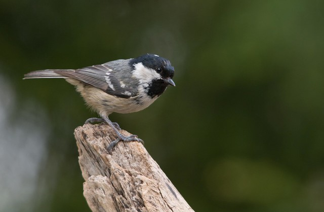 coal tit on branch 4