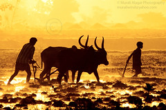 Happy Harvest festival (Light and Life -Murali ) Tags: people india silhouette happy working harvest bulls salem tamilnadu pongal harvestfestival hardworking rammorrisonfav kandasamypudur