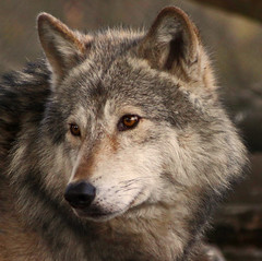 Grey Wolf (Gary's Photos!!) Tags: ireland dog eye dogs nature animal canon fur mammal nose photography eos grey photo big scary paw wolf foto fierce wildlife teeth gray bad conservation canine ear celtic endangered lupus graywolf wolves gentle howl carnivore pictureperfect protected phoenixpark greywolf canis dublinzoo goldenglobe canislupus threatened chordata canidae 50d digitalcameraclub specanimal garywilson abigfave baileathcliath impressedbeauty diamondclassphotographer flickrdiamond goldwildlife goldstaraward thebestofday gnneniyisi itsazoooutthere naturethroughthelens qualitypixels flickrlovers oneofmypics