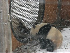 Video: Mei and Tai's quick visit in the snow - 484 (RoxandaBear) Tags: winter snow cold video mesh january explore tai nationalzoo mei giantpanda snowfall 2009 pandas moongate fallingsnow 12709 yard2 yard1 meiandtai moonwindow 1stsnow2009