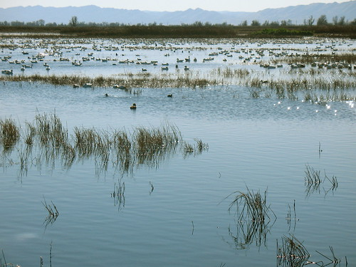 Lots of different water and shore birds in Sacramento Valley