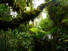 Gunung Irau #124 – The Verdant Green. (ighosts) Tags: travel nature forest moss hiking adventure journey malaysia cameronhighlands pahang verte perak gunungirau tropicaljungle jungletracking mountirau junglefruits mossyjungle anakirau raintropicaljungle