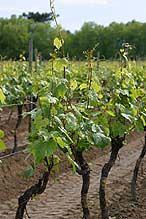 Crecen exponencialmente las exportaciones de vino a Japón