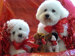 Two are real and Two are not! (trahudpoo) Tags: red two white love dogs hearts real brothers bow valentines bichon hudson traveler