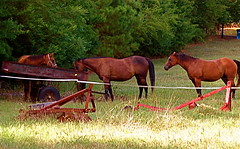 Line-up For A Drink (cdvoorhis) Tags: horses drink aline