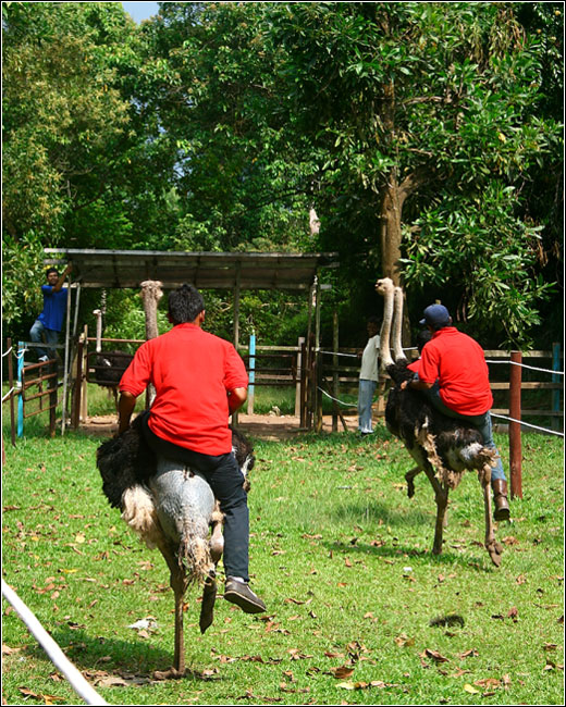 ostrich-race-back