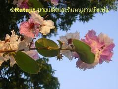 ดอกเสลา Thai Sakura