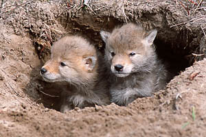 coyote pups small version-ross warner.jpg