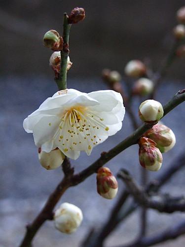 梅花~笹川流れ