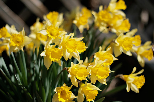 yellow jonquils