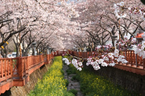 Jinhae Cherry Blossom Festival (진해 벚꽃 축제)