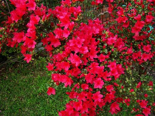 Red Azalea 3-26-09 010