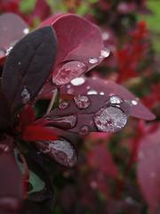 purple drops (Gr75) Tags: red flower macro rain canon leaf purple natura drop fiori pioggia goccie folgie rigiada