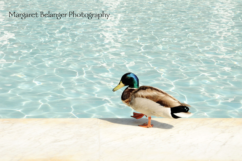 California Duck