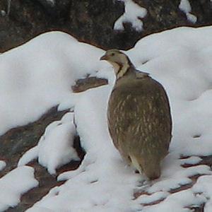Himalayan Snowcock 25april09