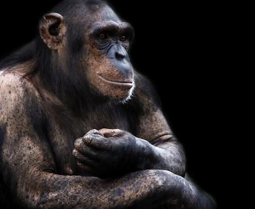 Chimp Life Cycle