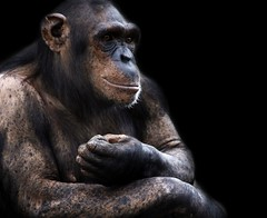 Chimp Chimpanzee Ape (@Doug88888) Tags: chimp ape chimpanzee