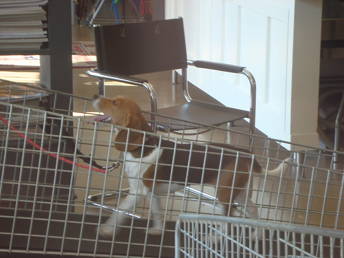 Beagle on Doggie Treadmill at an Oak Street Pet Spa in Vancouver by susan gittins