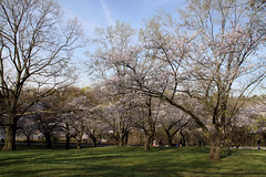 Sakura (Fionn Luk) Tags: park trees toronto ontario canon highpark cherryblossom sakura 50d japanesetrees