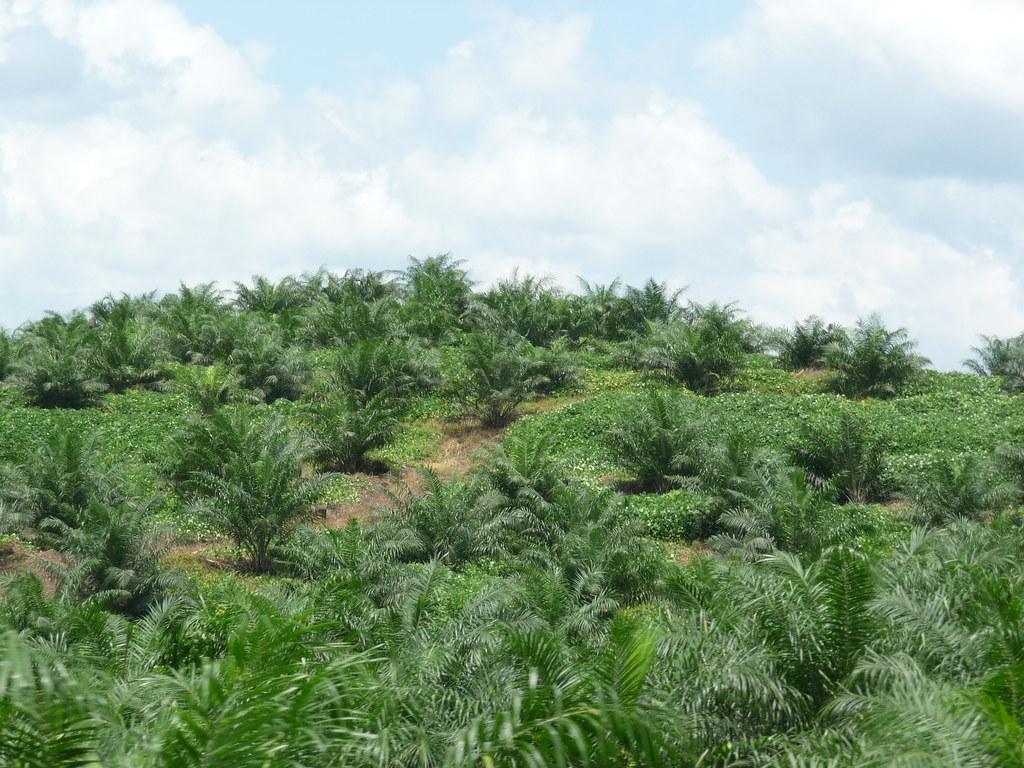Palm Oil (4)