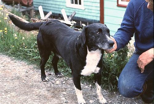 St John's Water Dog