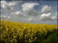 Along the road (Kirsten M Lentoft) Tags: sky plants field yellow clouds denmark ganløse abigfave worldbest kirstenmlentoft