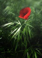 [フリー画像] [花/フラワー] [芥子/ケシ] [レッド/花]        [フリー素材]