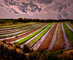 ~ Vegetables Field Texture and Reflection ~ (Peem (pattpoom)) Tags: reflection landscape thailand nikon vegetable d700 holidaysvacanzeurlaub theunforgettablepictures theperfectphotographer  nikkorafs1424mmf28ged
