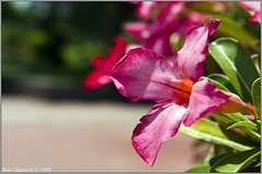 Luneta flowers (servo101) Tags: flowers flower asian nikon asia philippines sigma walkabout manila photowalk pilipinas pinas luneta tnb 2470mm d90 sigma2470mmf28 nikond90