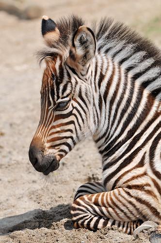 フリー画像| 動物写真| 哺乳類| 馬/ウマ| シマウマ| 子馬|      フリー素材|