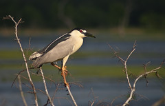 Black Crowned Night Heron at sunset