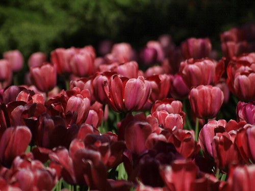 Tulip - Pink Bed