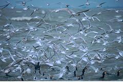 KOR_3401 (Florian Moellers) Tags: k birds meer feeding many v cormorant eel flockofbirds aal fishery fischfang kormoran opportunism vogelschwarm bycatch opportunismus vgel nahrungssuche beifang niederlandethenetherlands commericlafishing volendamijsselmeer kstenfischer