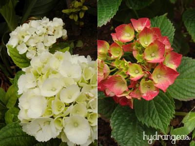 Hydrangeas are blooming