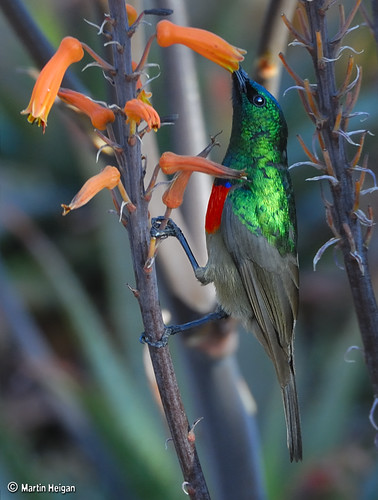 Double-collared Sunbird male in the shade