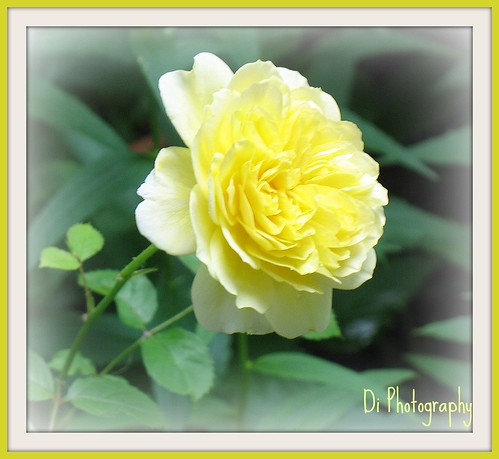 Yellow Rose by di_the_huntress.