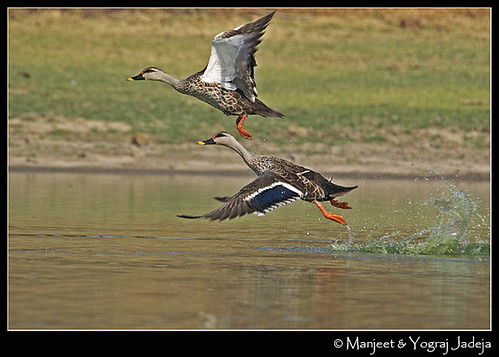 spotbilled ducks taking off