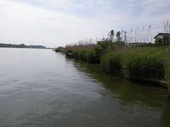 常陸利根川のアシ