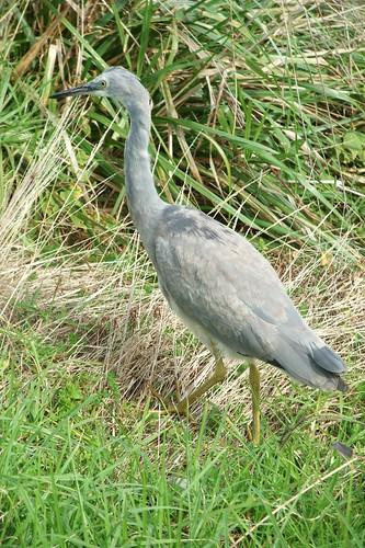 Awakino beach heron