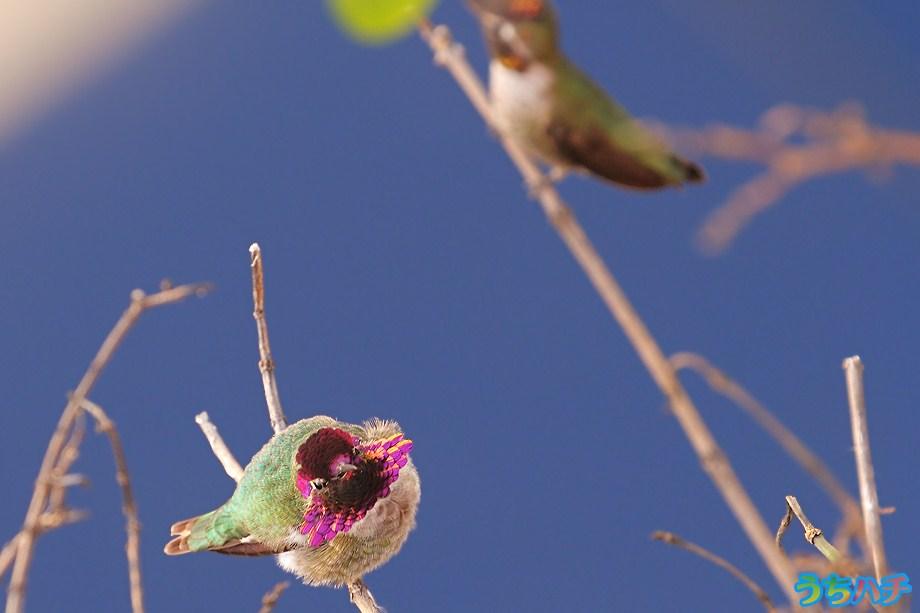 Anna's Hummingbird 010111-8