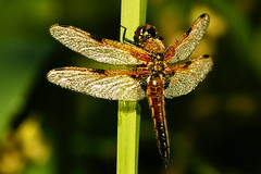 DSC05194 - Four spot chaser (steve R J) Tags: sunlight four dragonfly hill spot dew british chaser odonata goldings