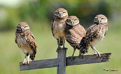 Burrowing Owl Family (Mike_Godwin) Tags: specanimal specanimalphotooftheday onephotoweeklycontestwinner photocontesttnc11