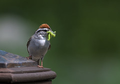 good parenting (Nick Harris1) Tags: bird feed americantreesparrow newyorkbirds smcpentaxda300mmf4edifsdm