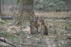 Servals (Douce Folie) Tags: lion du puma parc tigre lynx flin panthre lopard gupard lionne flins tigredesibrie lionceau tigreblanc canadalynx panthredesneiges panthrenoire couguar lynxboral chatdudsert pardelleservalcaracalmanulmargaychat