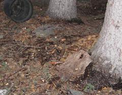 Pine Cone Stash (MooseNuggette) Tags: stash squirrel peanuts pinecone spruce winddamage squirrelnest sprucecone pineconestash nestdamage